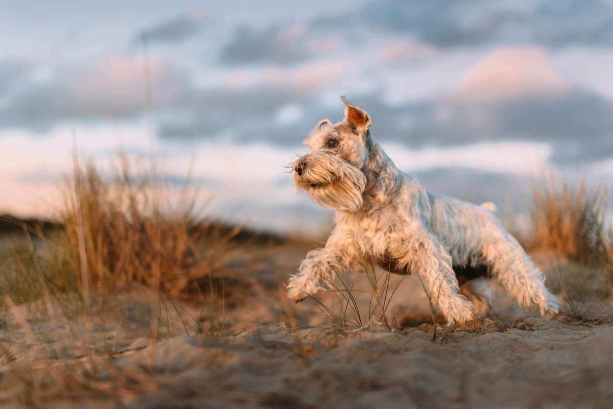 Congestive heart failure in dogs.