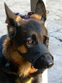 german-shepherd-dog-with-muzzle-200
