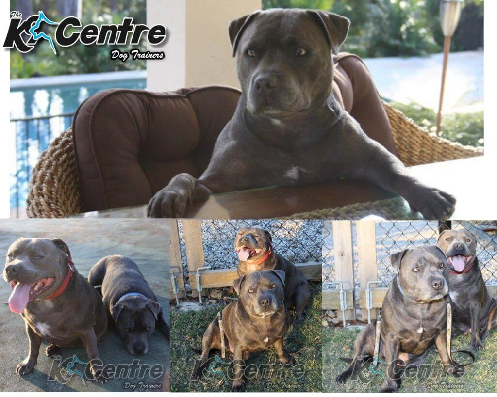 dog training for staffy dogs