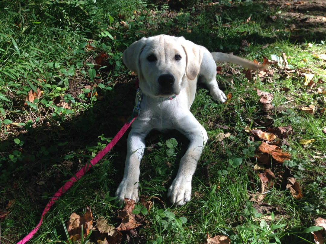 Yellow Lab puppy in grass