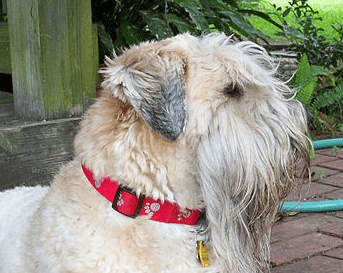 Which Dog Breeds Shed The Least?