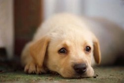 About Your Puppy's Development Stages