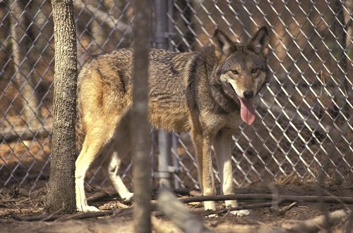 Our Canine Cousins - The Red Wolf