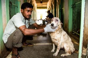 TOLFA staff member Sonu helping with daily dog treatments