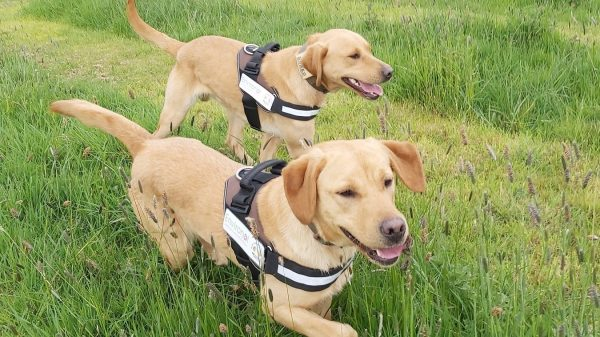 What Does a Japanese Knotweed Sniffer Dog Do?