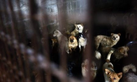 In a slaughterhouse, hundreds of pet dogs await their own death, while they watch as their companions are slaughtered in front of them.