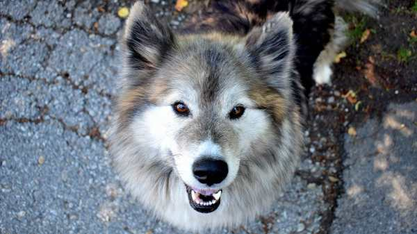 Is a Dog's Coat Colour Linked to a Wolf's DNA?