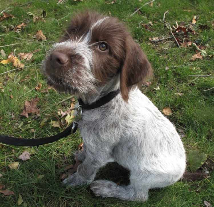 German Wirehaired Pointer Amathairco