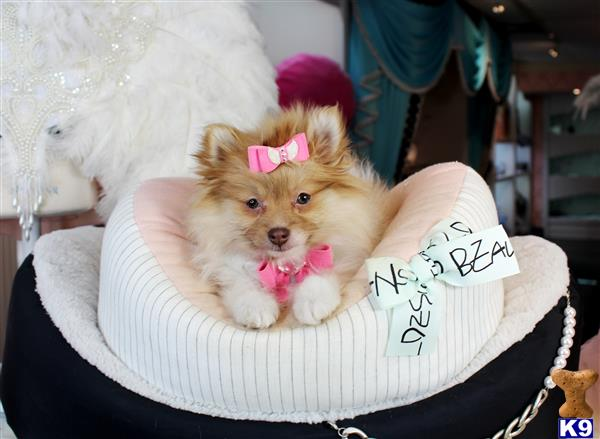 Pomeranian Puppy For Sale No Cash Needed Today No