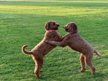 These sweet pups wrestling for a tennis ball didn't need any intervention.