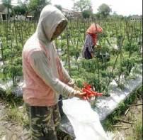 MERUGI: Prapto menunjukkan cabai merah usaidipanen di Dusun Plaosan, Desa Gendoh, Ke camatanSempu, kemarin.