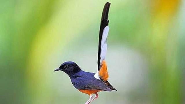 Budidaya-Burung-Murai-Batu