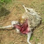 Teka-Teki Kematian Puluhan Domba Yang Misterius