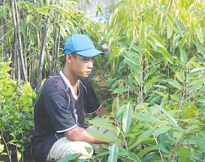 Pekerja-kebun-merapikan-bibit-durian-merah-setelah-disirami-air-kemarin.