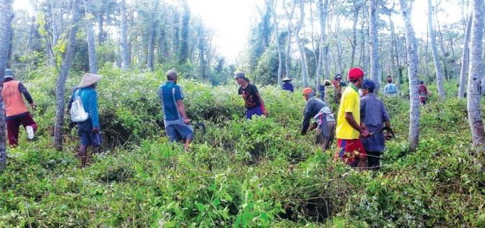 Warga-membabati-tanaman-di-bawah-pohon-tegakan-di-hutan-RPH-Tegalsari,-BKPH-Curahjati,-KPH-Perhutani-Banyuwangi-Selatan,-Senin
