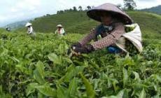 Permalink ke Produksi Teh Indonesia Semakin Melorot Tiap Tahunnya
