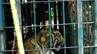 Seekor harimau Sumatra saat terperangkap di Pesisir Selatan Sumbar beberapa waktu lalu/ tanharimage