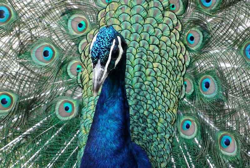 64 Lihat Gambar Hewan Burung Merak Terbaru