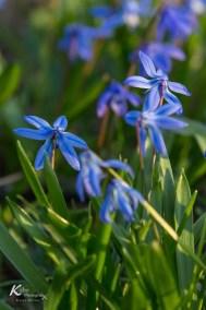 Scilla Blüten