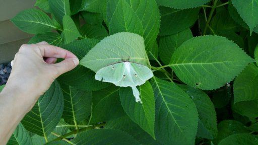 Adult Luna Moth Sighting