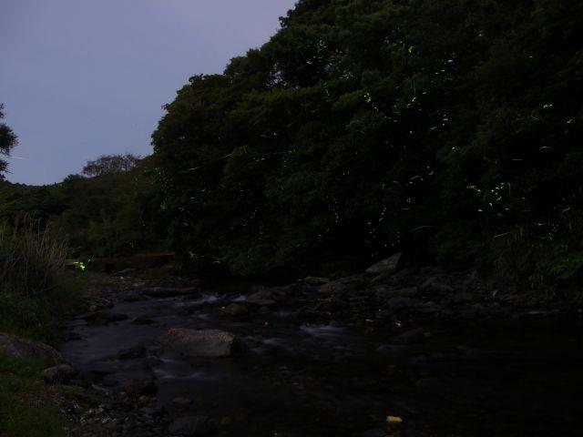上山地区・ゲンジボタル02