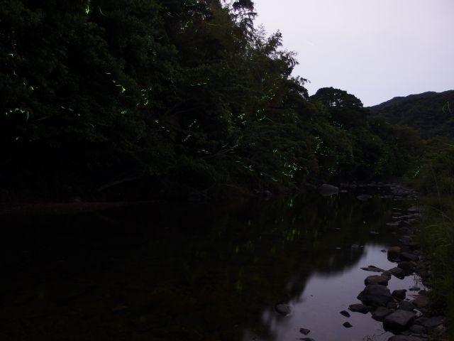 上山地区・ゲンジボタル03
