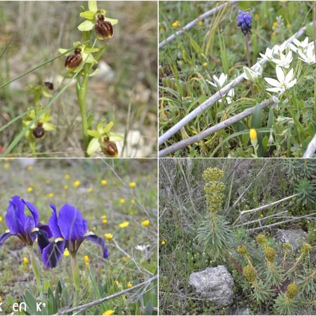 Photo des fleurs de garrigue avec des orchidées sauvages, des curés, des jolies petites fleurs blanches, des iris violet