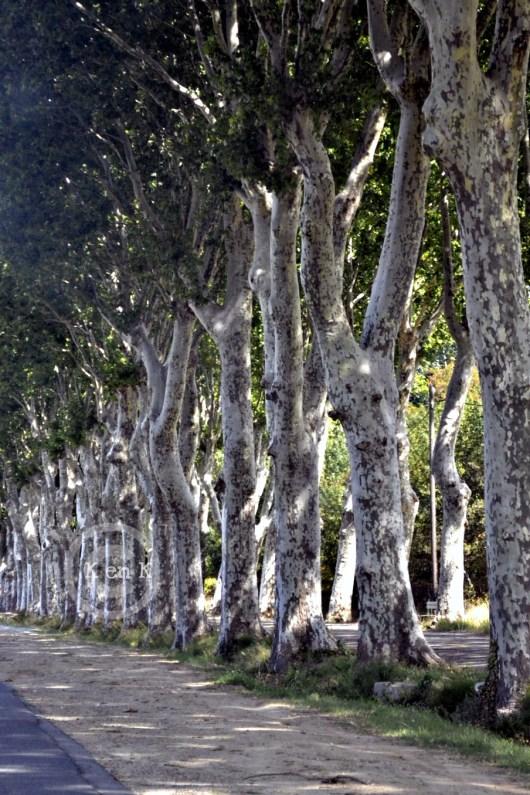 arbre-platane-blog-nature