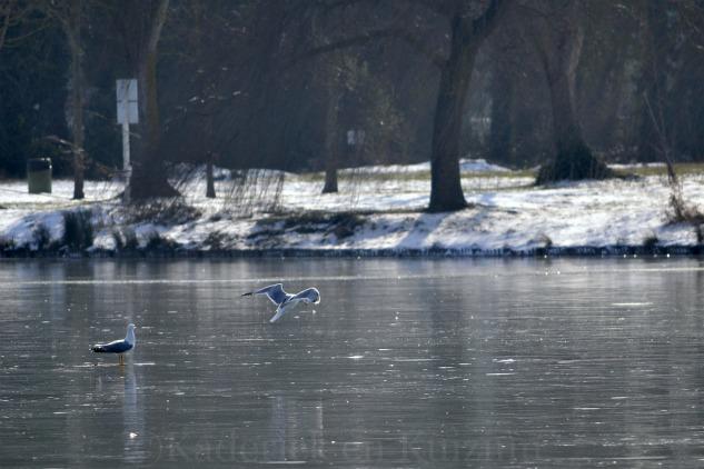"""Photo des mouettes sur le lac gelé pour le thème """"Voler"""" pour le projet 52 de vivre la photo"""