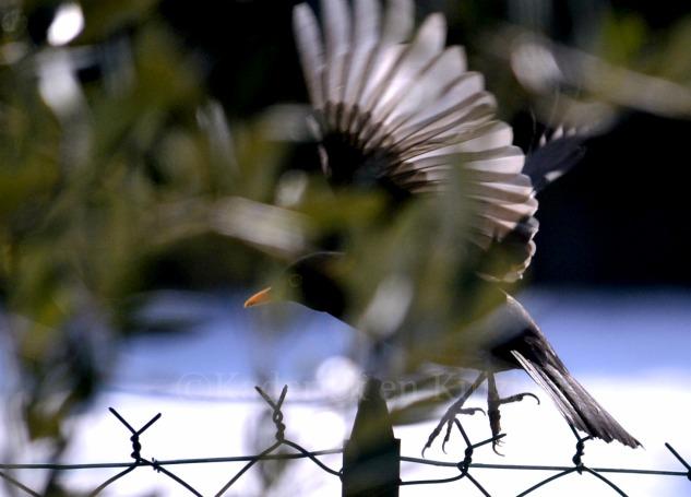 """Photo d'une pie en vol pour le thème """"Voler"""" pour le projet 52 de vivre la photo"""