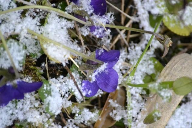 """Photo d'une violette de Toulouse sous la neige dans mon jardin pour le thème du projet photo """"vivre la photo"""""""