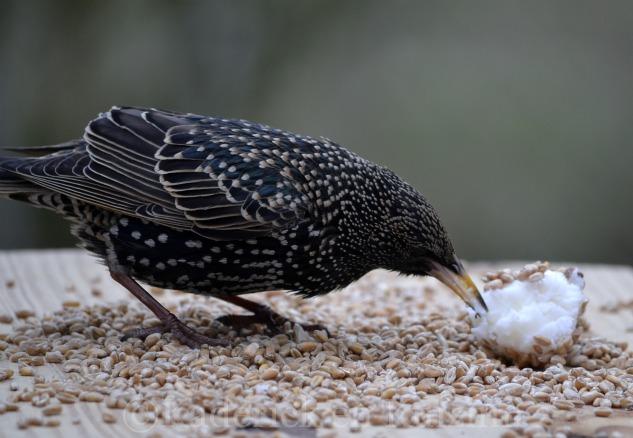 """Photo d'un jeune merle mangeant de la graisse de canard et du blé pour le thème """"Voler"""" pour le projet 52 sur vivre la photo"""