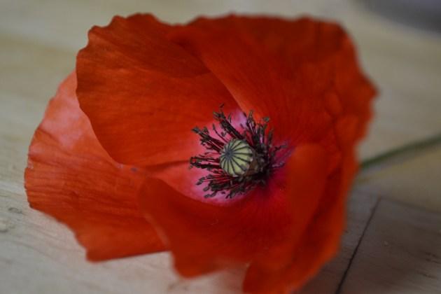 Fleur de coquelicot bien rouge