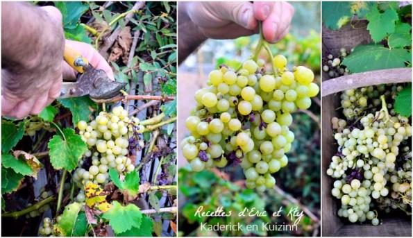 Cep vigne et vendange des grappes raisins blancs du jardin