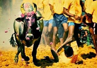 know about jallikattu