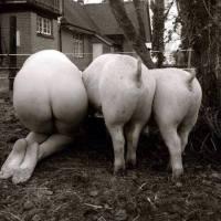 """De """"Ser un cerdo!"""" a ¿Seré un cerdo? o el animal más limpio..."""