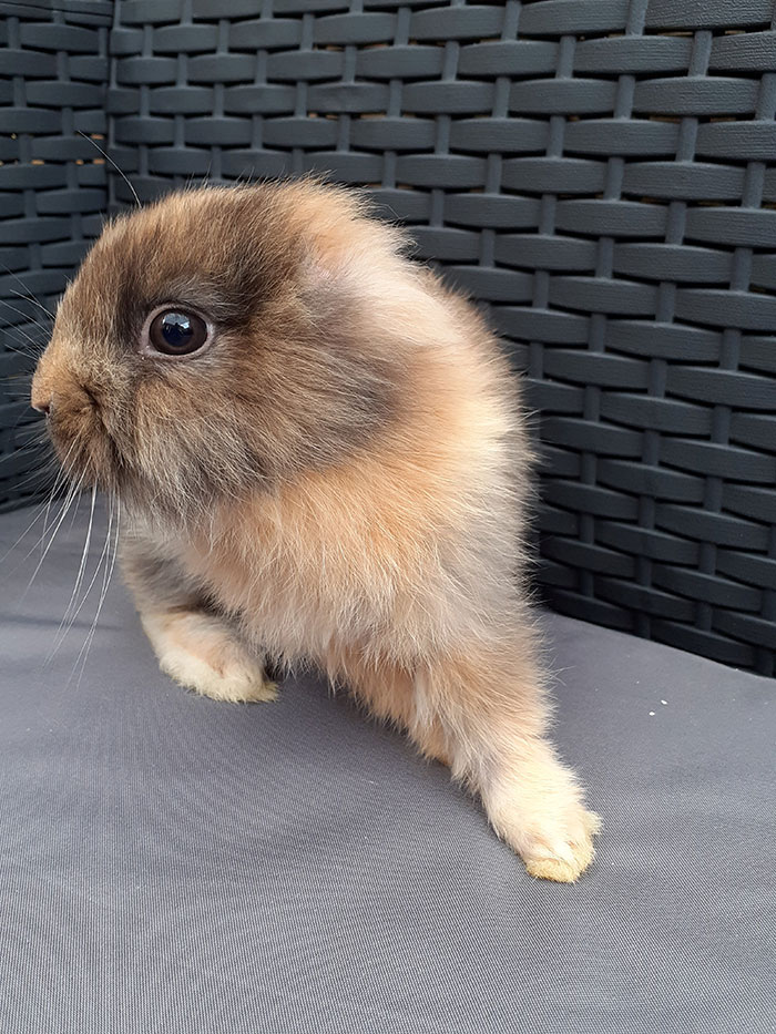 Запознајте го Лео: Зајчето без уши кое изгледа како бебе лав