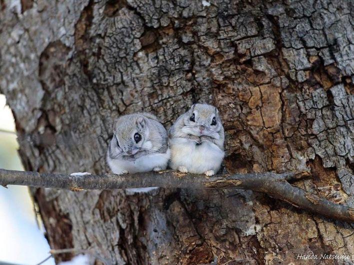 Фотографии од симпатични јапонски џуџести летечки верверички