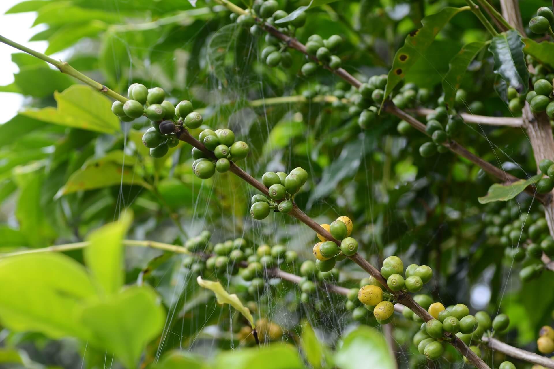 kaffeepflanze header