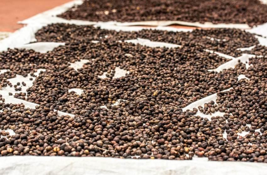 kaffeebohnen mexiko sonnentrocknung