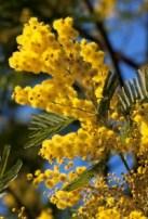Mimosa. Source: nyhabitat.com