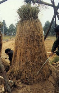 Vetiver roots, the primary source of the aroma. Photo:  Herbariasoap.com