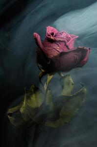 Spirit of a Dying Rose by Vincent Knaus via RealityDefined.com.