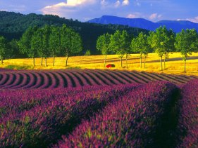 Lavender fields in Provence. Source: Worldfortravel.com