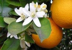 Orange blossoms via the Pattersonfoundation.org.