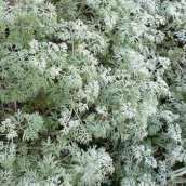 Artemisia or Wormwood. Source: Esacademic.com