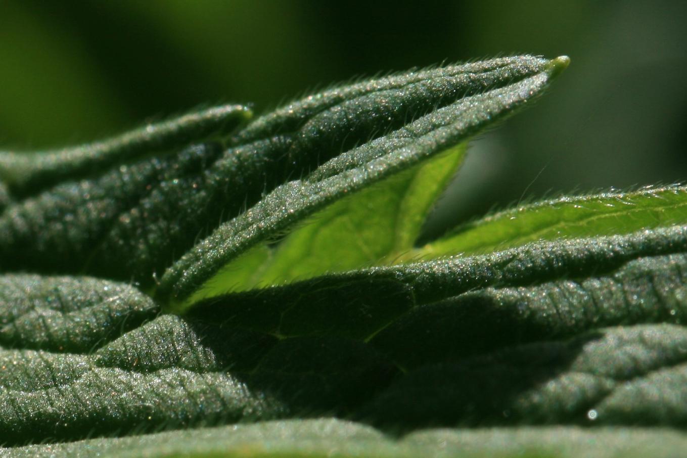 Relay race baton galleryhip com the hippest galleries - Geranium Leaf Close Up Source Wikicommons