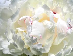 White Peony. Photo: Will Borden on Fineartamerica.  (Website link embedded within photo.)