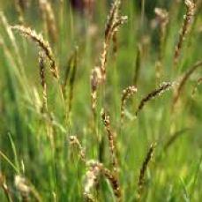 Flouve grass via en.academic.ru