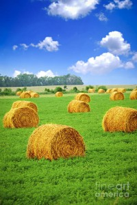 """Golden Hay Bales in Green Fields' by Elena Elisseeva on Fine Art America."